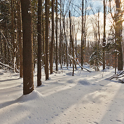 A grove of spruce in winter at the Notchview Reservation in Windsor, Massachusetts.