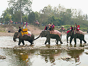 The procession of domesticated Asian elephants crosses the Nam Hung river at the Sayaboury elephant festival, Sayaboury province, Lao PDR. Originally created by ElefantAsia in 2007, the 3-day elephant festival takes place in February in the province of Sayaboury with over 80,000 local and international people coming together to experience the grand procession of decorated elephants. It is now organised by the provincial government of Sayaboury.The Elephant Festival is designed to draw the public's attention to the condition of the endangered elephant, whilst acknowledging and celebrating the ancestral tradition of elephant domestication and the way of life chosen by the mahout. Laos was once known as the land of a million elephants but now there are fewer than 900 living in the country. Around 470 of them are in captivity, traditionally employed by a lucrative logging industry. Elephants are trained and worked by a mahout (handler) whose relationship to the animal is often described as a marriage and can last a lifetime. But captive elephants are often overworked and exhausted and as a consequence no longer breed. With only two elephants born for every ten that die, the Asian elephant, the sacred national emblem of Laos, is under serious threat of extinction.