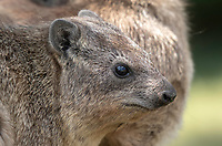 Yellow-spotted Rock Hyrax, Heterohyrax brucei, in Serengeti National Park, Tanzania. Three photographers can be seen reflected in the animal's eye.