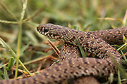 Juvenile Large Whipsnake (Coluber jugularis) photographed in Israel in May