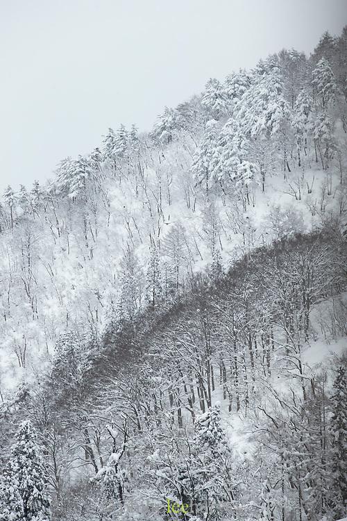 Forest in snow in Shirakawa-go, Japan