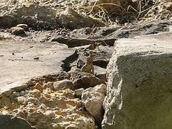 Hardoen, Stellagama stellio, Turkije