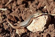 Lacerta laevis lizard found in Cyprus, Israel, Jordan, Lebanon, Palestinian Territory, Syria, and Turkey.
