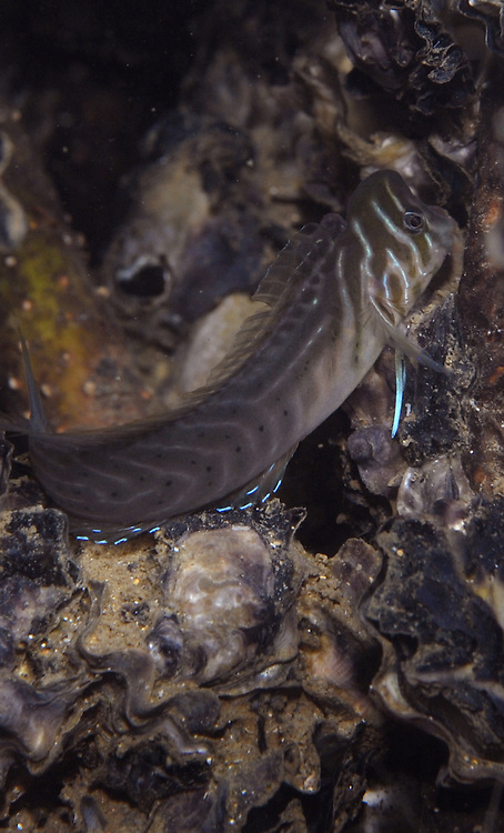 Australian oyster blenny, Omobranchus anolius