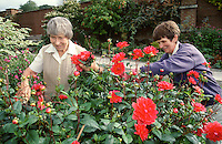 two lady gardeners tidying a bed of dahlia