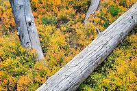 Sub-alpine foliage dispalying fall color in the North Cascades, Washington USA