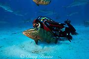"diverand Nassau grouper,<br /> Epinephelus striatus, at Shark Rodeo, <br /> Walker's Cay, Bahamas,<br /> ( Western Atlantic Ocean ) MR 250<br /> diverand Nassau grouper,<br /> Epinephelus striatus, at "" Shark Rodeo "", <br /> Walker's Cay, Bahamas,<br /> ( Western Atlantic Ocean ) MR 250"