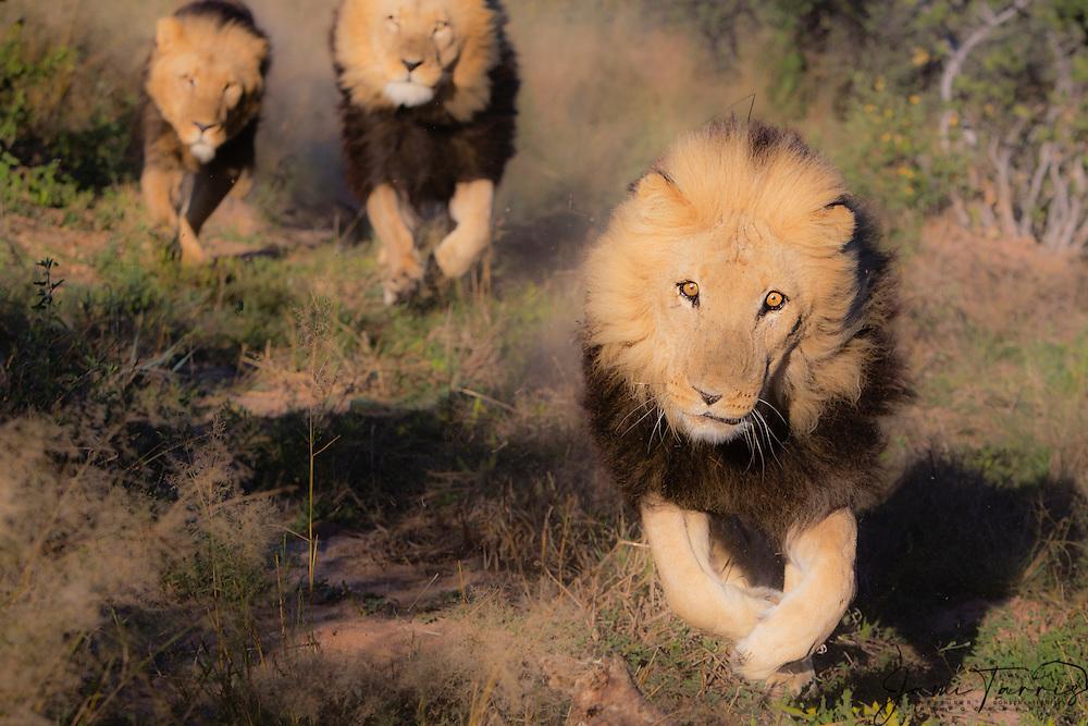 Three captive male lions (Panthera Leo) running full speed, Grasslands Reserve, Botswana, Africa
