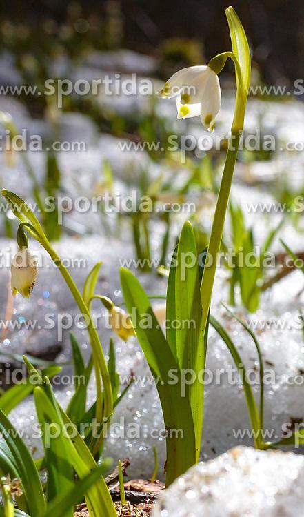 THEMENBILD - Frühlingsknotenblumen in einem Schneefeld, aufgenommen am 02. April 2018, Kaprun, Österreich // Spring knot flowers in a snow field on 2018/04/02, Kaprun, Austria. EXPA Pictures © 2018, PhotoCredit: EXPA/ Stefanie Oberhauser