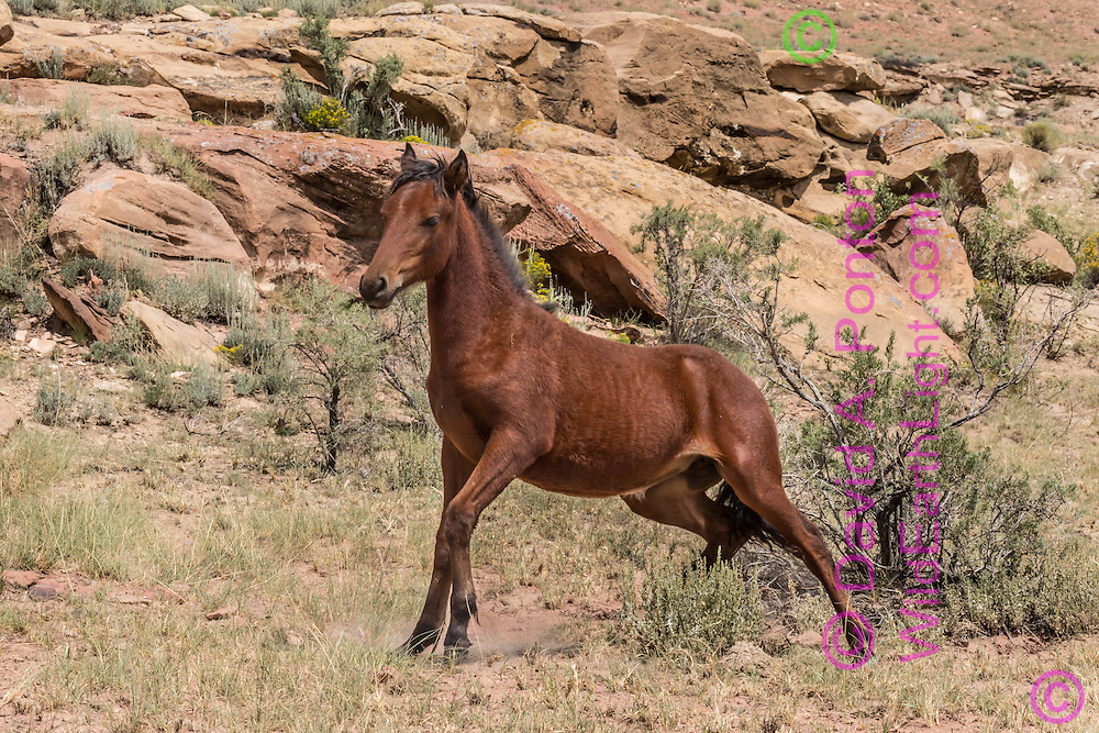 Wild filly getting up off the ground in the rugged landscape of northern New Mexico, © David A. Ponton