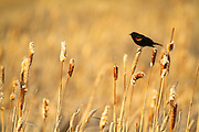 Red Winged Blackbird, Montana.