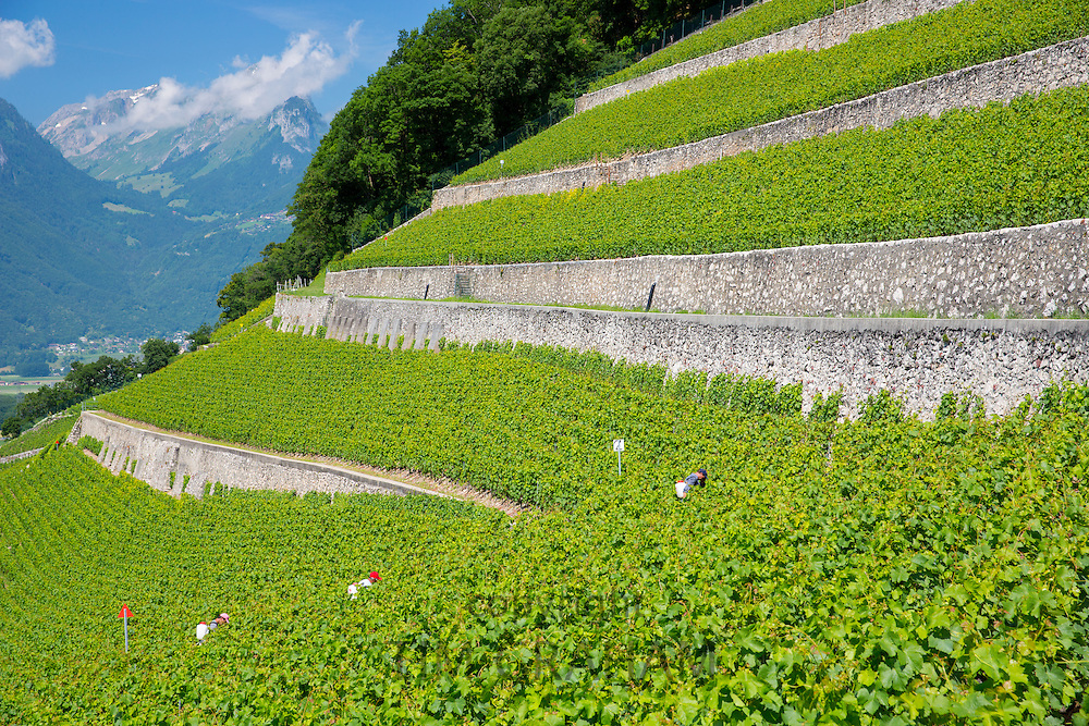 Workers spraying Chablais vines at wine estate, Clos du Rocher, at Yvorne in the Chablais region of Switzerland