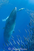 Bryde's whale, Balaenoptera brydei or Balaenoptera edeni, rises up through mixed baitball of sardines and Pacific chub mackerel or green mackerel Scomber japonicus, with California sea lion, Zalophus californianus, in background, off Baja California, Mexico ( Eastern Pacific Ocean )