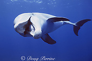 JoJo, a wild sociable bottlenose dolphin, Tursiops truncatus, open mouth threat display, Turks and Caicos ( Western Atlantic Ocean )