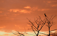 Middletown, NY - A cormorant perched in a tree is silhouetted against colorful clouds at sunset on April 19, 2007.