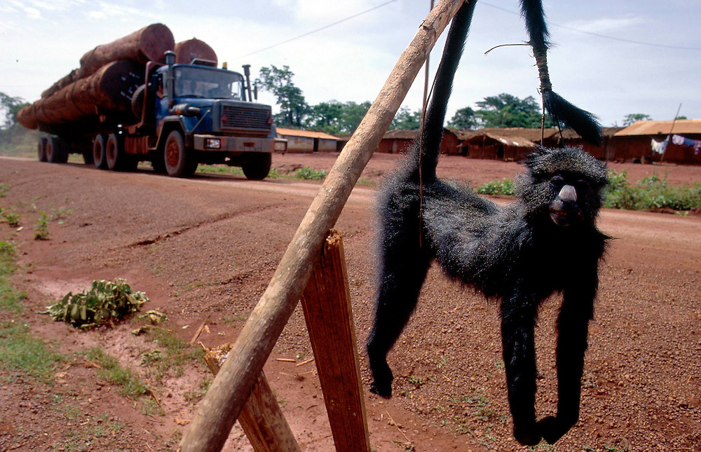 Bushmeat for sale along the road: cerebus monkey, Cameroon Accession #: 0.99.241.001.07