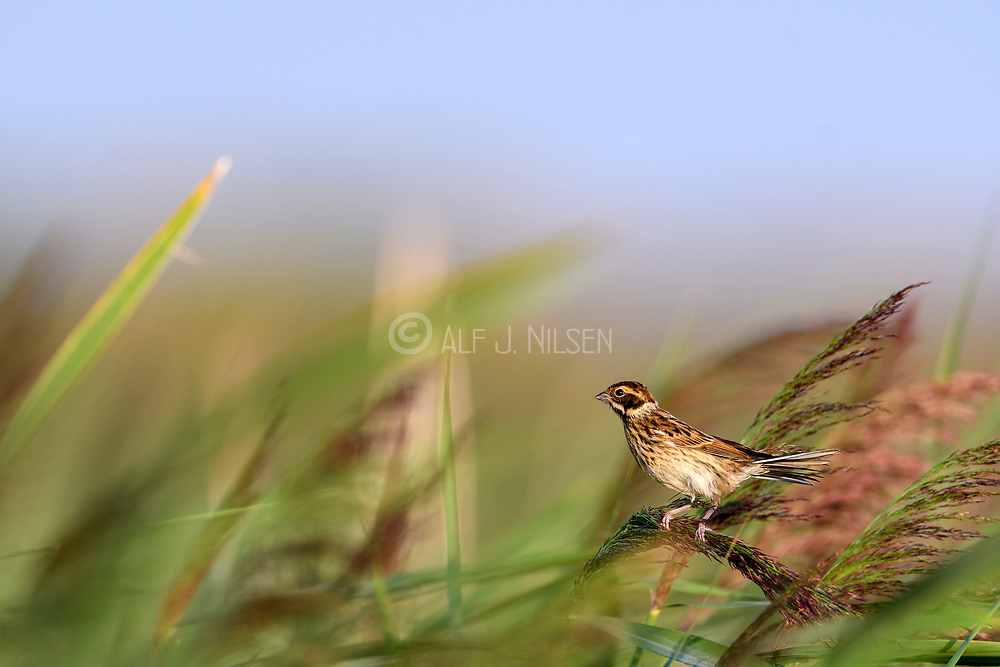 Female common reed bunting (Emberiza schoeniclus) from Vejlerne, northern Denmark.
