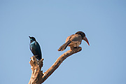 Cape glossy starling (Lamprotornis nitens). and Monteiro's hornbill (Tockus monteiri) on a tree. Photographed in Etosha National Park, Namibia.