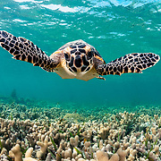 Hawksbill sea turtle (Eretmochelys imbricata) swimming over finger coral (Porites porites) off Eleuthera, Bahamas.