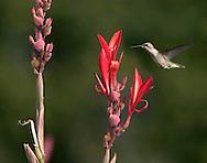 Ruby Throated Hummingbird, Female, Archilochus colubris, In Flight