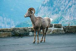 Bighorn Sheep (Ovis canadensis), Glacier National Park, Montana, US