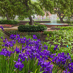 iris in bloom at Prescott Park in Portsmouth, New Hampshire.