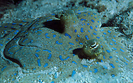 Peacock Flounder (Bothus lunatus).  These fish live on the bottom or buried in the sand.  They blend into their surroundings by changing their color.  Little Cayman
