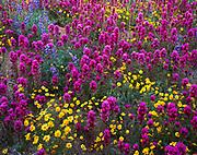 Goldfields, Lasthenia chrysostoma, owl's clover, Orthocarpus purpurascens, and lupine, Lupinus sparsiflorus, Tohono O'odham Reservation, southern Arizona.