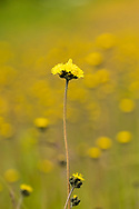 Closeup of Wooly Hawkweed (Hieracium triste) near Valdez In Southcentral Alaska. Summer. Morning.