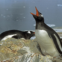 ANTARCTICA. Nesting Gentoo penguin (Pygoscelis papua) sits on egg, Peterman Island.