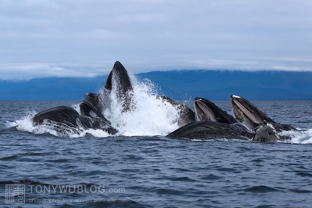 A group of humpback whales engaged in social foraging by herding herring and other fish with bubble nets. The lead whale bursts straight out of the water, while the other whales lunge alongside with their mouths wide open.