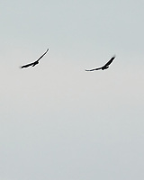 Turkey Vulture. Sourland Mountain Preserve. Image taken with a Nikon 1 V3 camera and 70-300 mm VR lens.