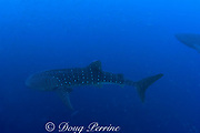 two whale sharks, Rhincodon typus, swim among spawning mutton snappers, Lutjanus analis, Gladden Spit and Silk Cayes Marine Reserve, Belize, Central America ( Caribbean Sea )