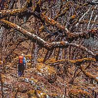 Trekkers hike through subtropical rainforest in the remote Hinku Valley in the Khumbu region of Nepal's Himalaya.