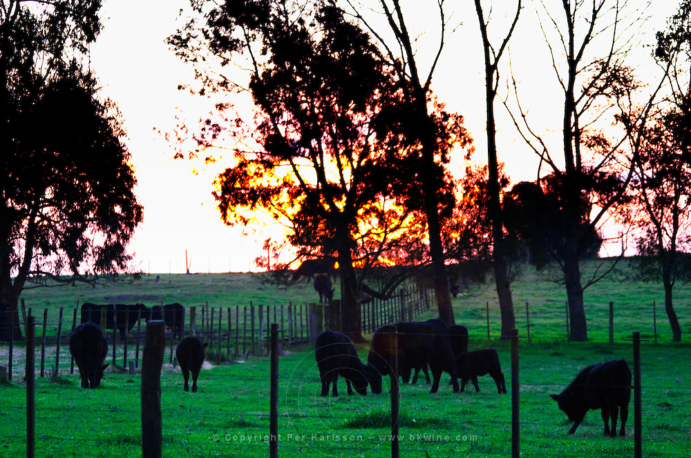A field with grazing black angus bulls that will at some later time in their life go to the famed Uruguay barbecue Asado. Evening setting sun. Montevideo, Uruguay, South America