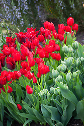 Tulipa 'Lasting Love', 'Roulette' and 'Sinopel'