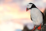 Puffin at sunset. Runde, Norway | Lundefugl i solnedgang. Runde, Norge