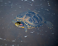 Red Eared Slider Turtle, Irmo, South Carolina  photo by catherine brown