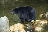 Black Bear (Ursus americanus) walking in river, Thornton Fish Hatchery, Ucluelet, British Columbia, Canada