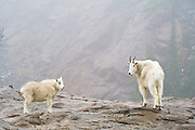 A female mountain goat (Oreamnos americanus) and her kid walk together above Ingalls Lake, Alpine Lakes Wilderness, Washington.