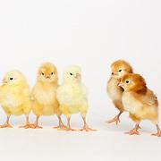 20180220 Kelsey Chicks