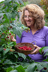 Harvesting raspberries into a basket - Rubus idaeus