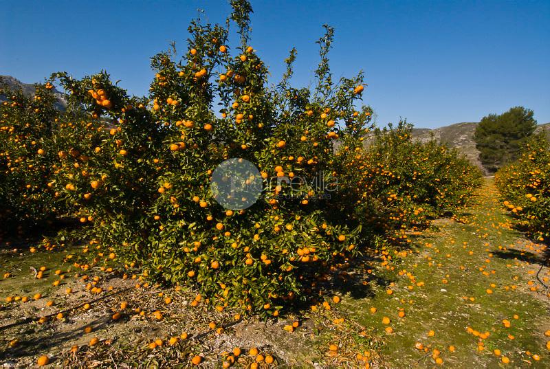 Naranjos. Vall de Gallinera. Alicante ©Antonio Real Hurtado / PILAR REVILLA