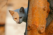White domestic cat climbs a tree
