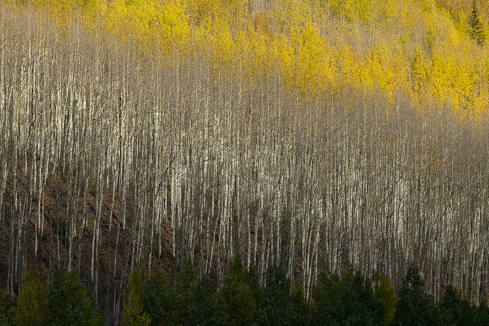 LIGHT & SHADOW ON QUAKING ASPEN FOREST, RED MOUNTAIN PASS, OURAY COUNTY, COLORADO