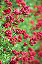 Centranthus ruber - valerian