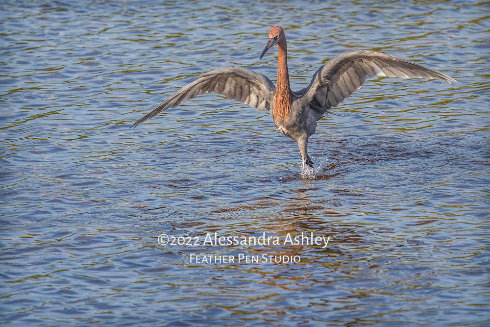 """Reddish egret (Egretta rufescens) reveals magnificent wings while hunting for its next meal.  This species of egret """"dances"""" to confuse fish, then strikes."""