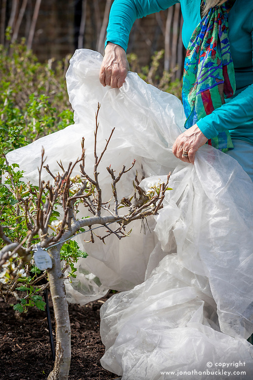 Protecting step-over fruit blossom with horticultural fleece. Pyrus communis 'Packham's Triumph' - pear