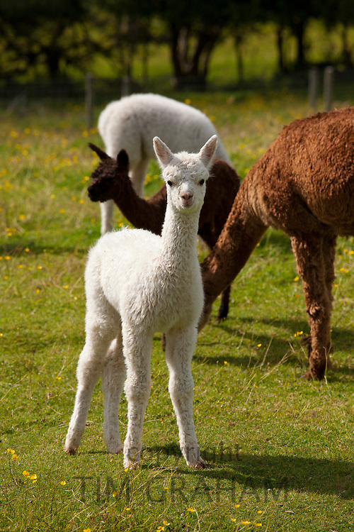 Baby Alpaca at Town End Farm near Kendal in the Lake District National Park, Cumbria, UK