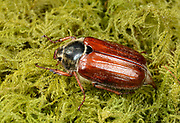Close-up of a Cockchafer or May-bug (Melolontha melolontha) resting on moss in a Norfolk garden in early summer